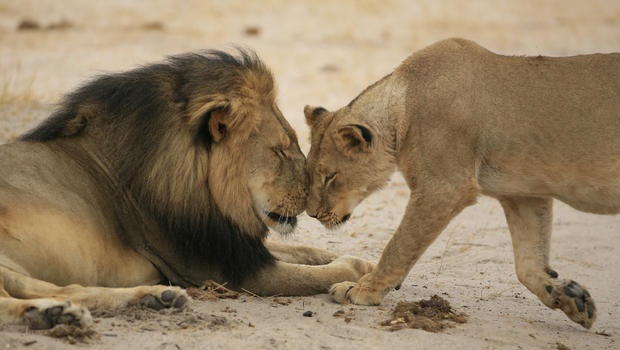 Cecil and one of his lionesses, sharing a tender moment - never again to happen.